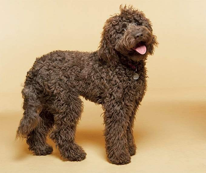 Labradoodle Preferable Pups