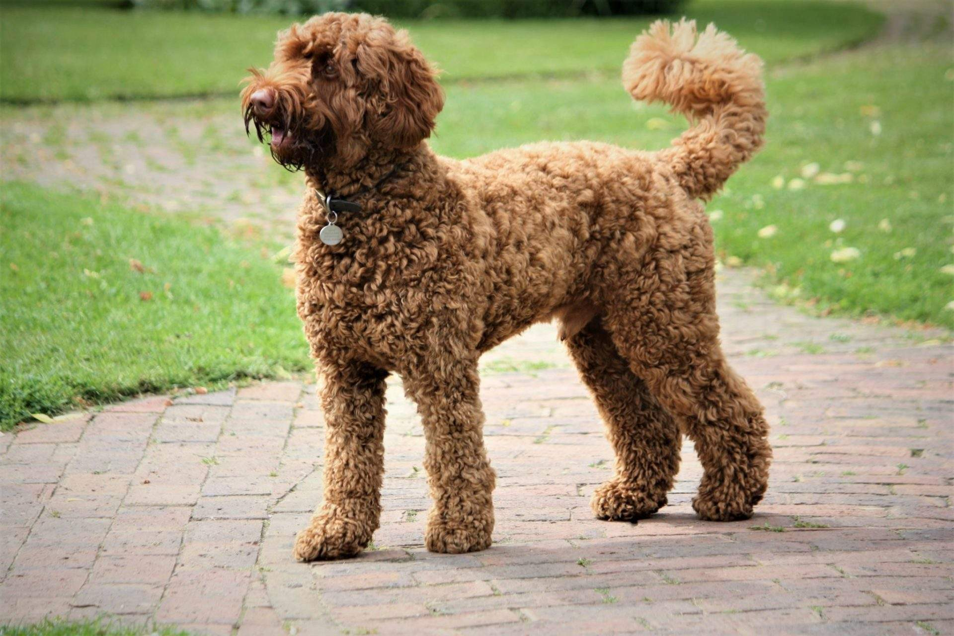 Are Labradoodles Smart?