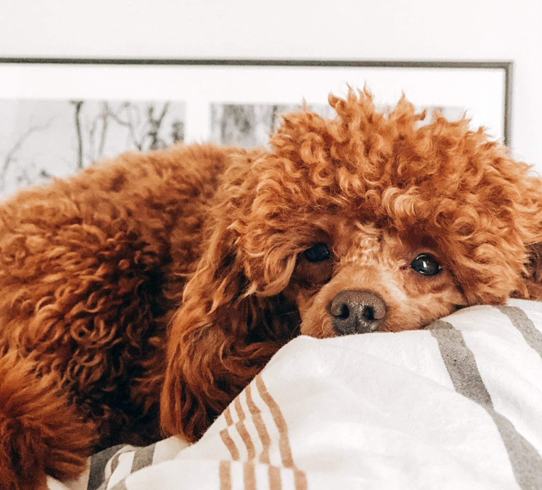 Mixed Breeds Of Poodles Labradoodle
