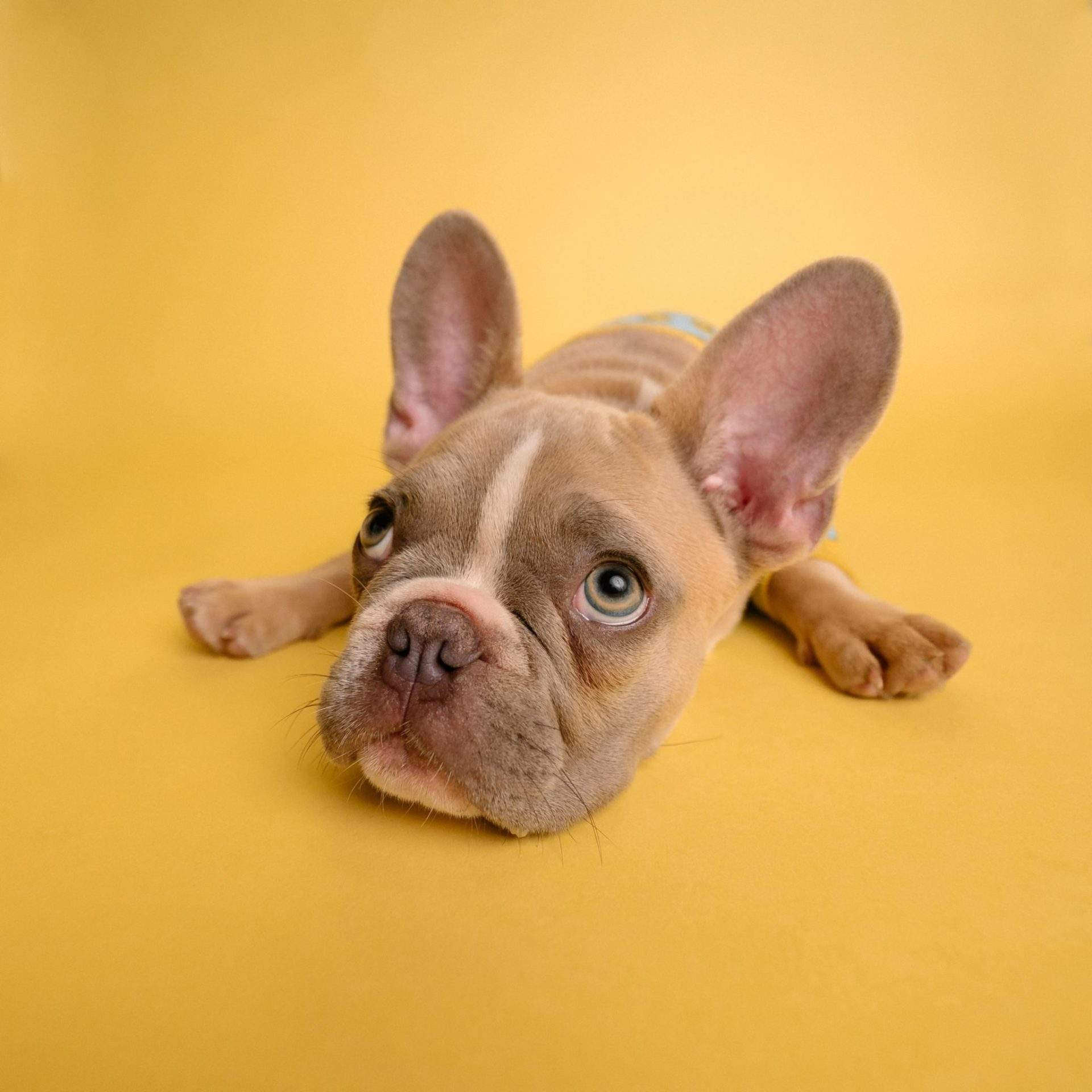 names for french bulldogs female